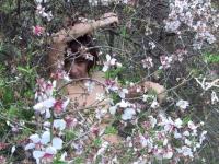 Anosia - Almond tree 2 thumb