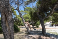 Anosia - Spetses: Tree 3 thumb